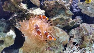 Clown Fish at Blue Reef